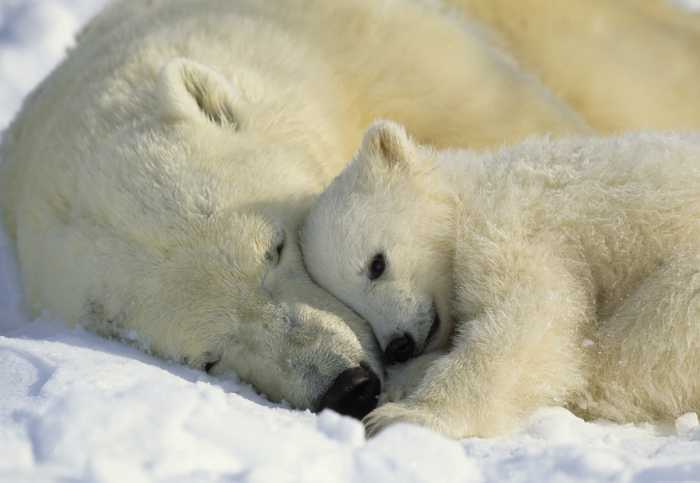 Photomural Polar Bears