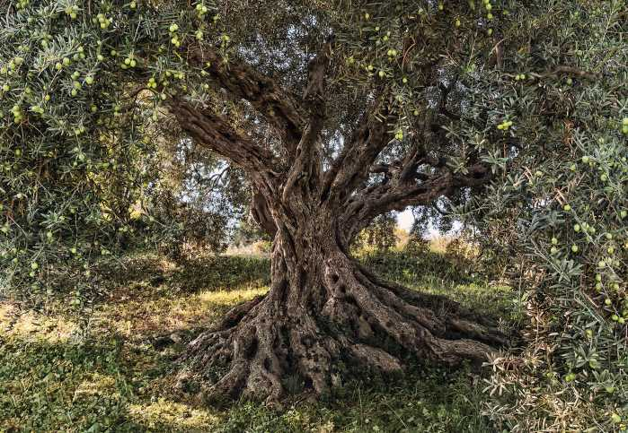 Photomural Olive Tree