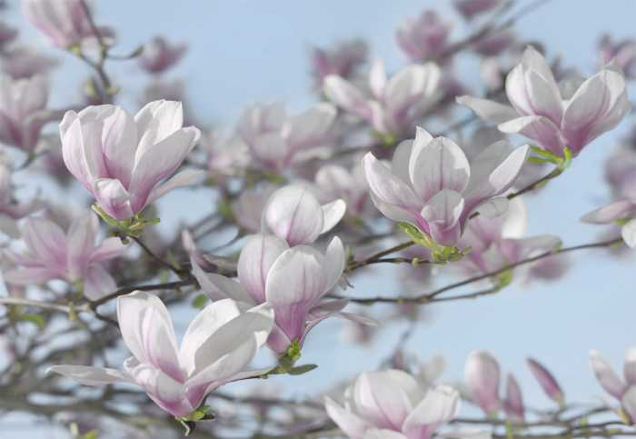 Photomural Magnolia