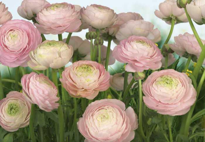 Photomural Gentle Rosé