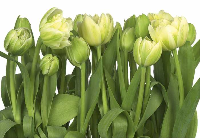 Photomural Tulips