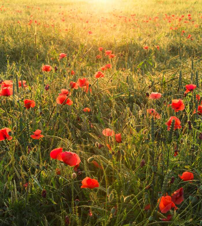 Digital wallpaper Poppy World I