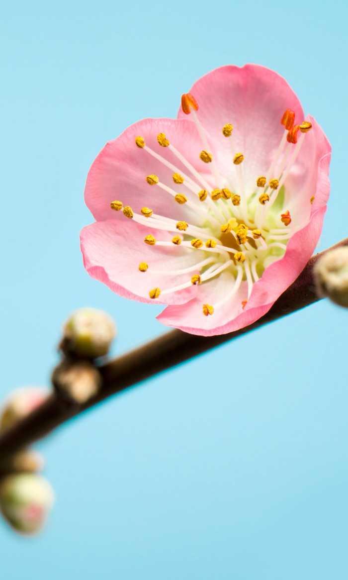 Digital wallpaper Blossom