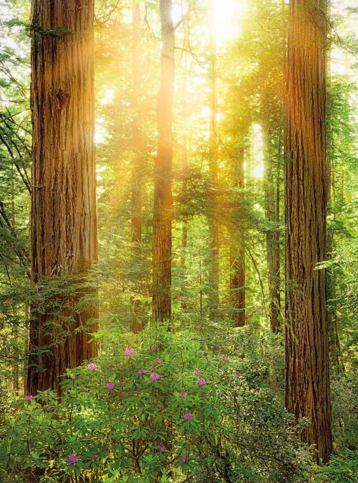 Non-woven photomural Redwood